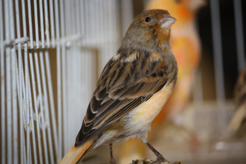 Mixed Canary