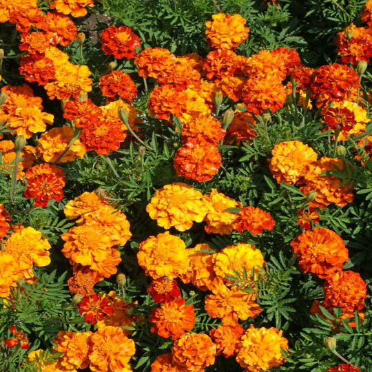 Marigold 100 Seeds French Sparky Mix
