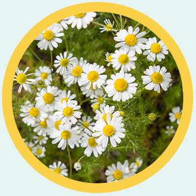 chamomile for less stress