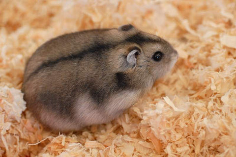 Hamster Russe nain de Campbell's