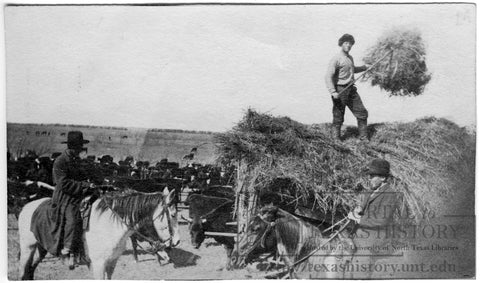 Pitching hay at Sanzenbacher Ranch in Clay County Texas in 1900.