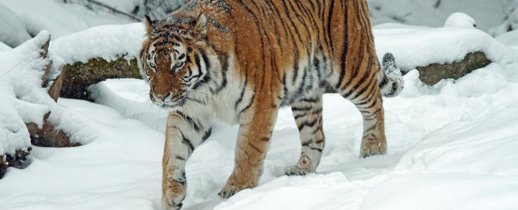 SIBERIAN TIGER IN A SNOW