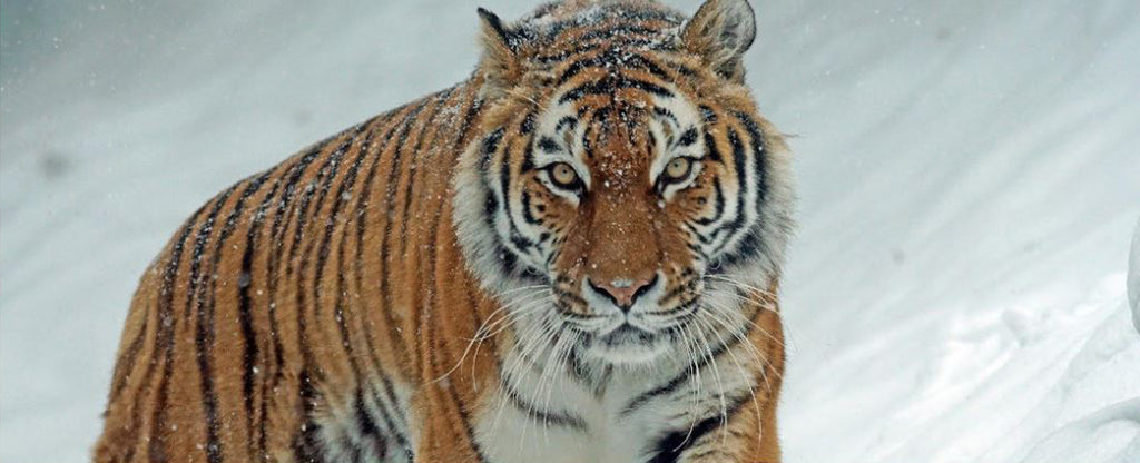 ANGRY LOOK SIBERIAN TIGER