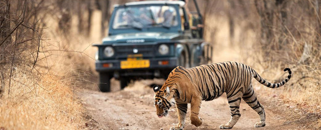 tiger in a road
