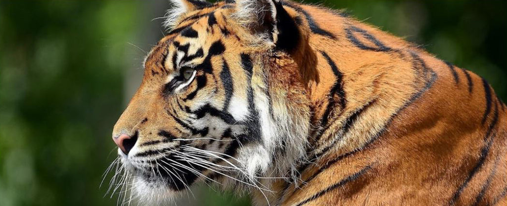 SIDE HEAD OF A TIGER
