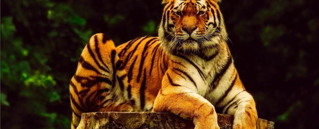 FIERCE TIGER IN A FOREST