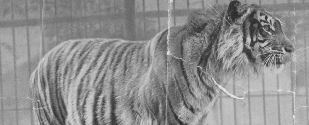 old photo of a tiger