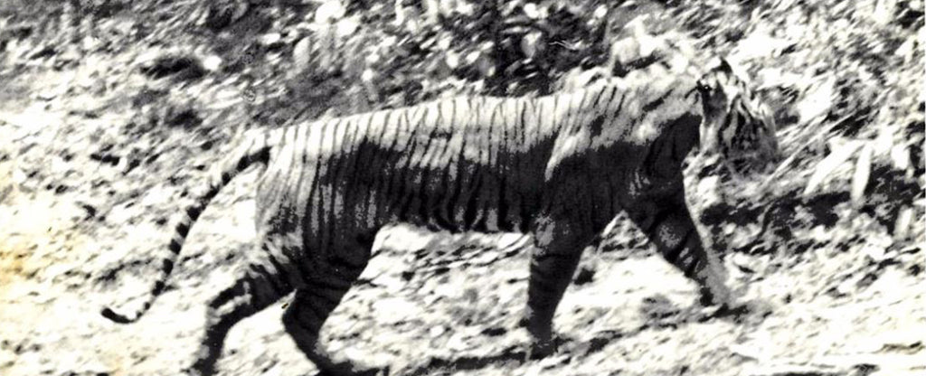 black and white photo of a tiger