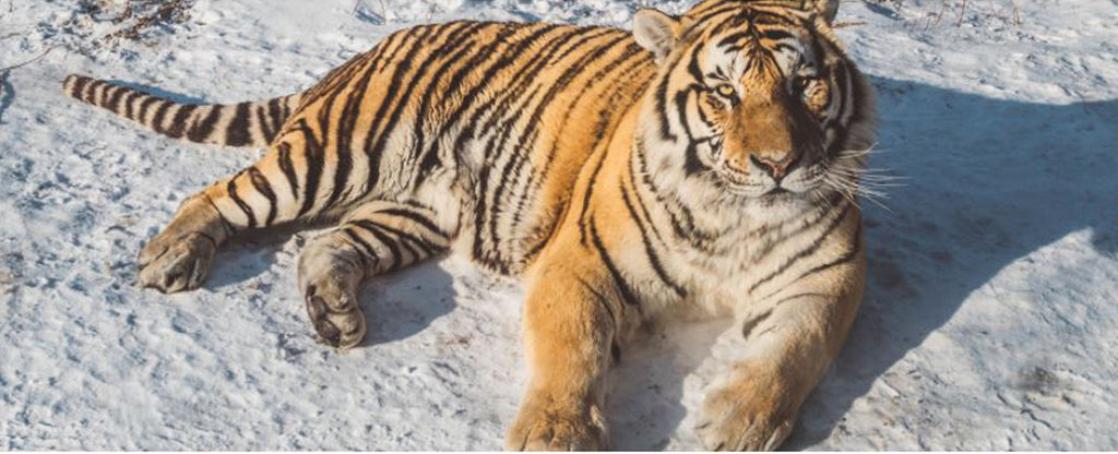 tiger in the sand