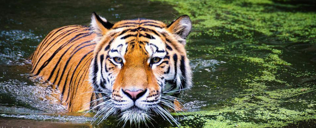 tiger in a pond