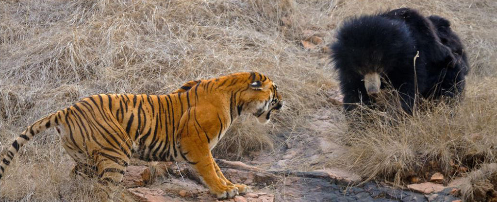 tiger and bear finding food