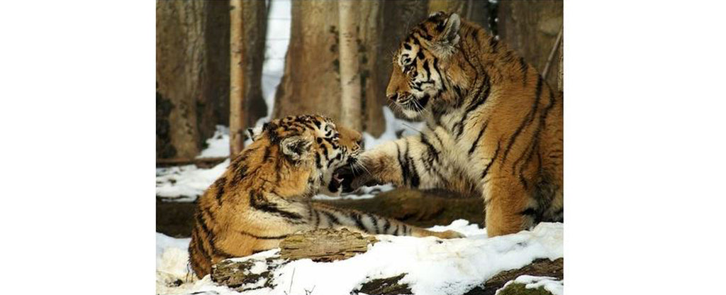 two tigers in a snow