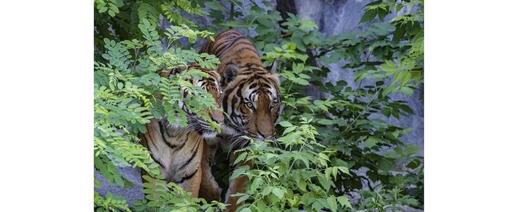 tigers in a trees