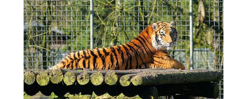 resting tiger in a log