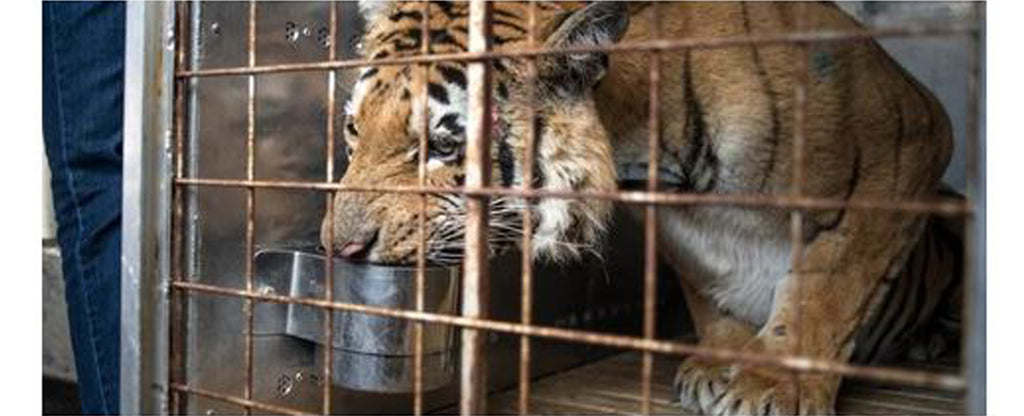 eating tiger in a cage