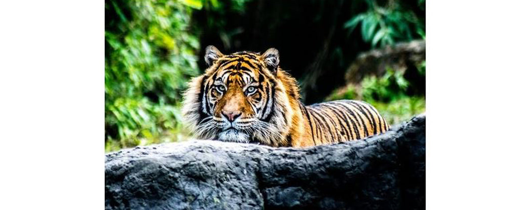 tiger behind the rock