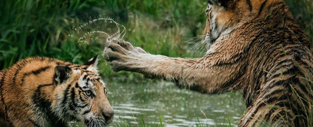two tiger playing in the water