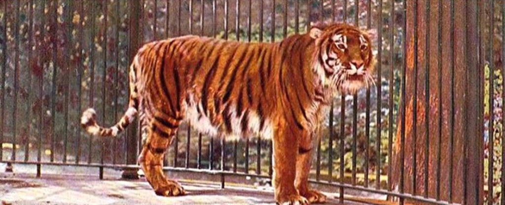 one tiger in a cage