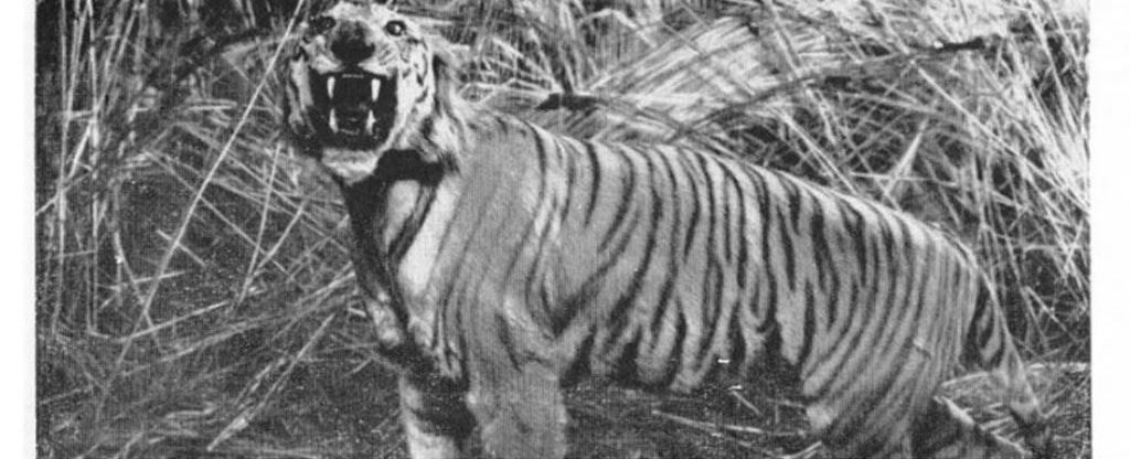black and white photo of angry tiger