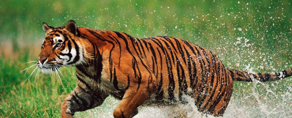 tiger running in a water
