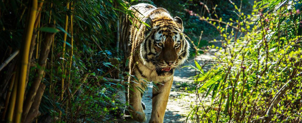 tiger running in a forest