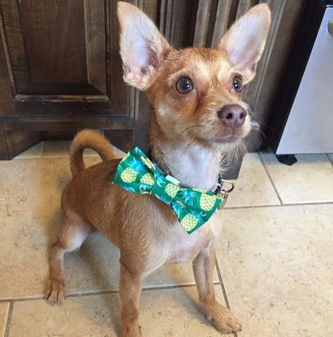 chihuahua in bowtie