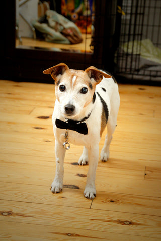 dog in wedding with bow tie