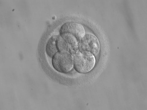 An 8-cell embryo, a couple of days after pregnancy begins