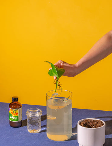 A pothos cutting dipping into a Kelpy/water mix before planting