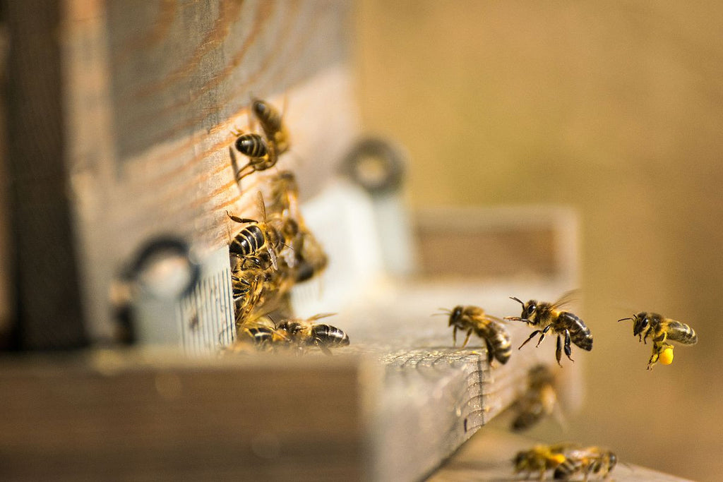 Honey bees entering the bee hive