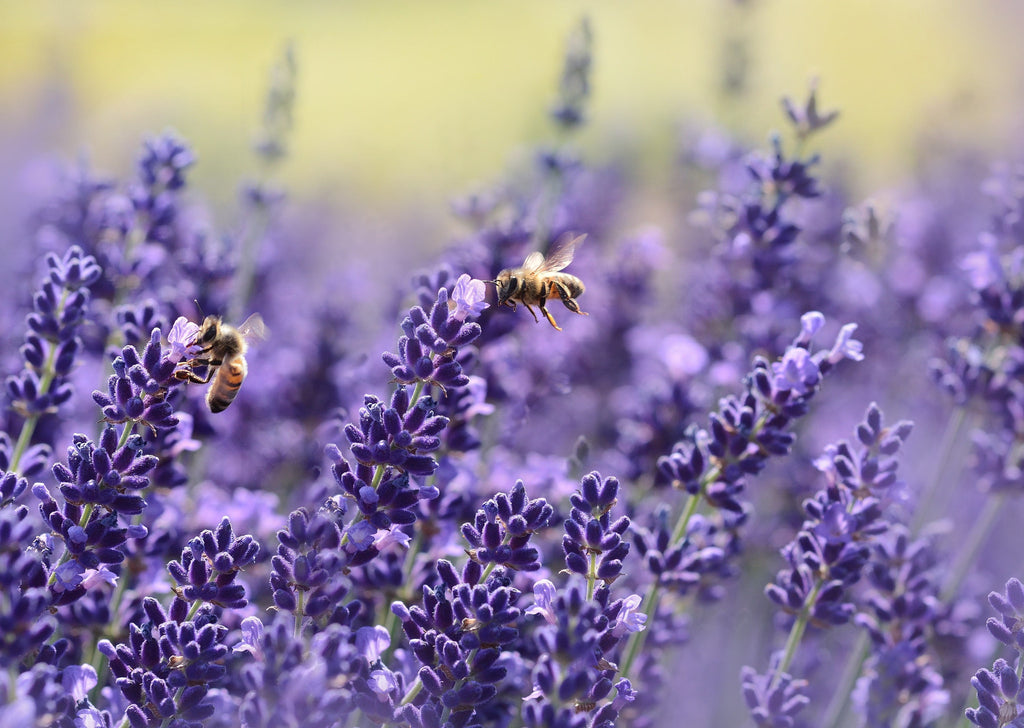 Honey bees feeding on lavender
