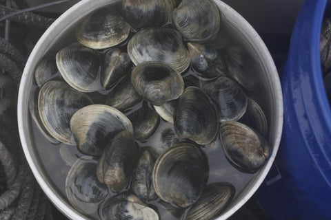 Quahog clams in New England