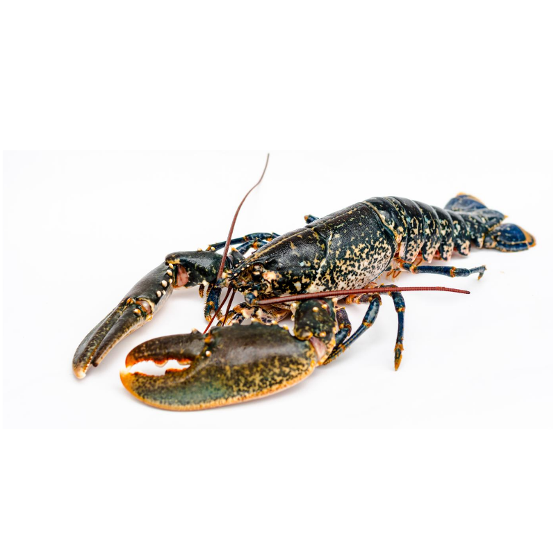 Live Blue Tail Lobsters - 500g Approx x 2