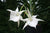 Angraecum Lady Lisa 'Rosemary'