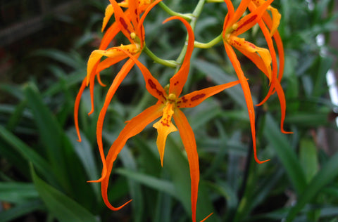 Brassia Orange Delight