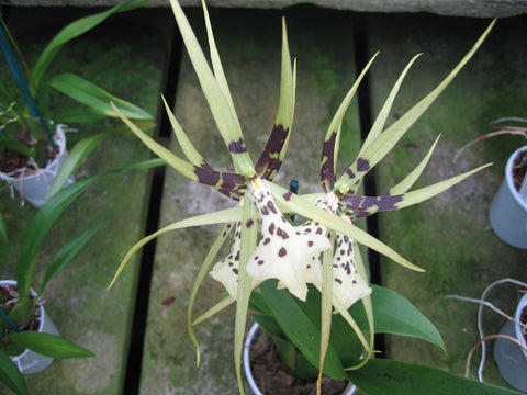 Brassia New Start 'Big Spider'