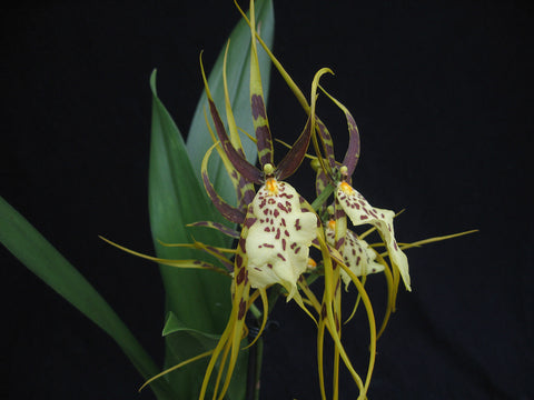 Brassia Eternal Wind 'Summer Dream'