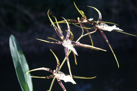 Brassidium Spider Star