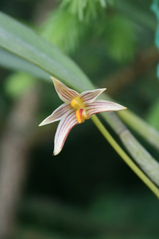 Bulbophyllum affine