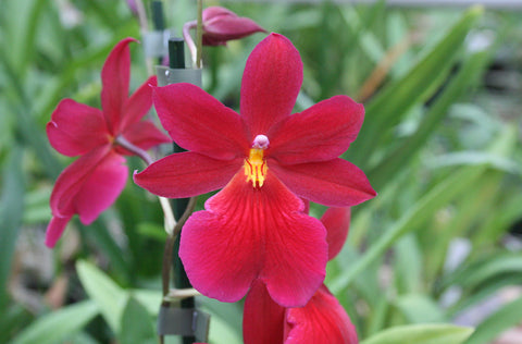 Burrageara Nelly Isler 'Dark Red'