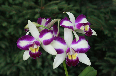 Cattleya Haw Yuan Angel