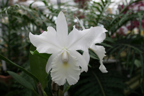 Cattleya Sea Breeze 'alba'