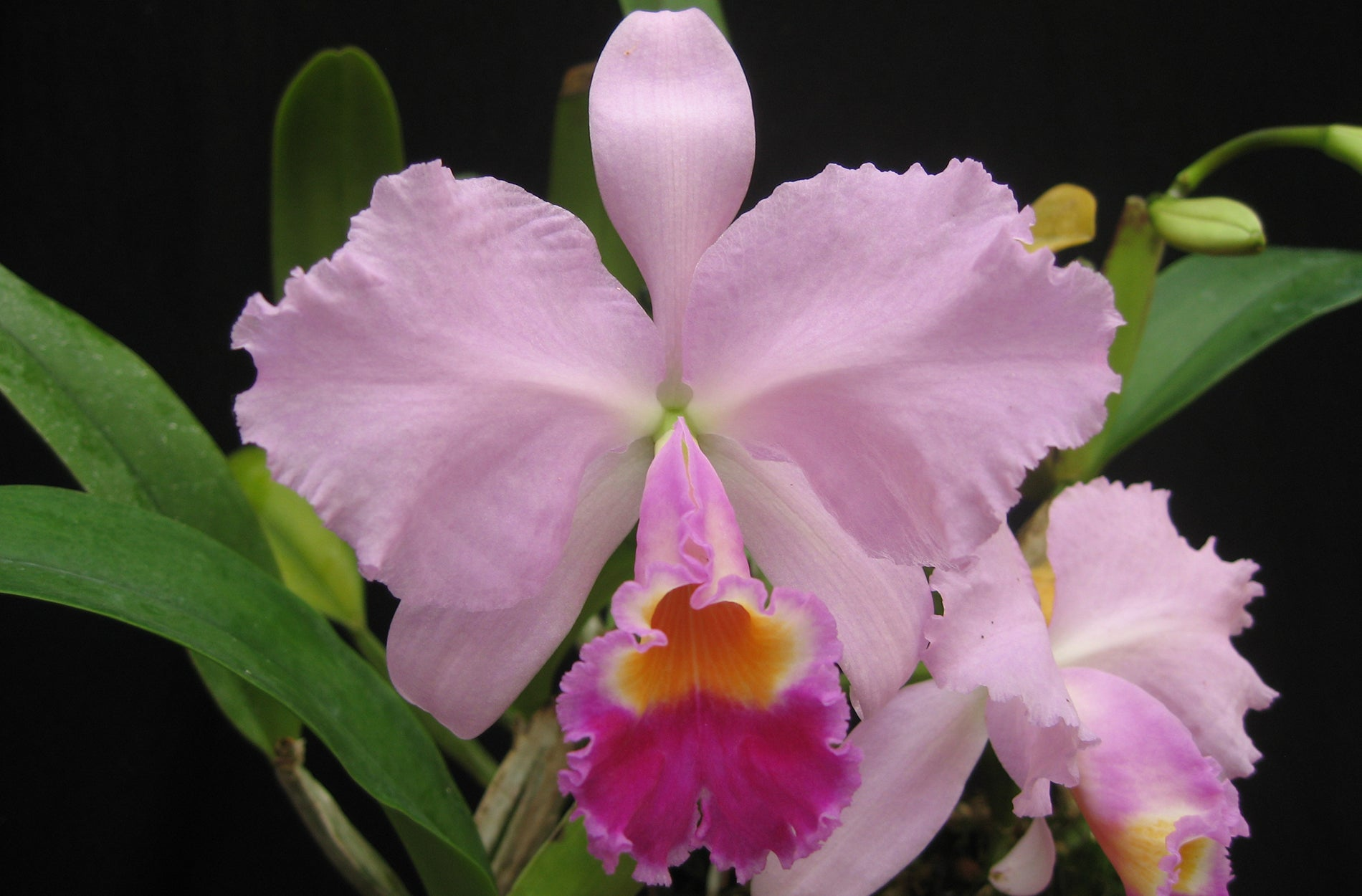 Cattleya Trianae Petrens Orchid Shop