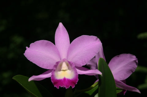Laeliocattleya Mini Purple