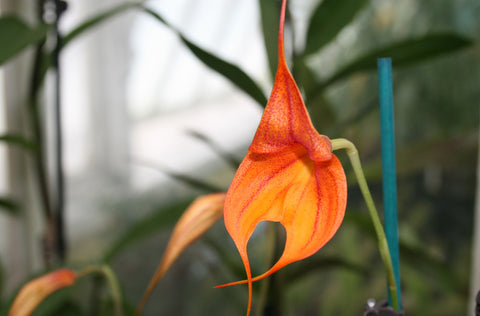 Masdevallia Redwood
