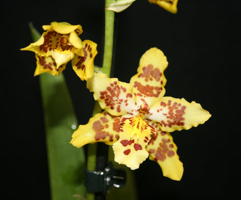 Odontocidium Artur Elle's 100th Birthday
