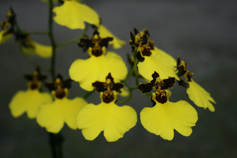 Oncidium Moon Shadow 'Tiger Tail'