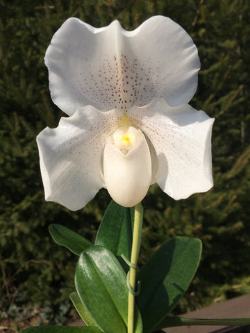 Pahiopedilum Mrs. White