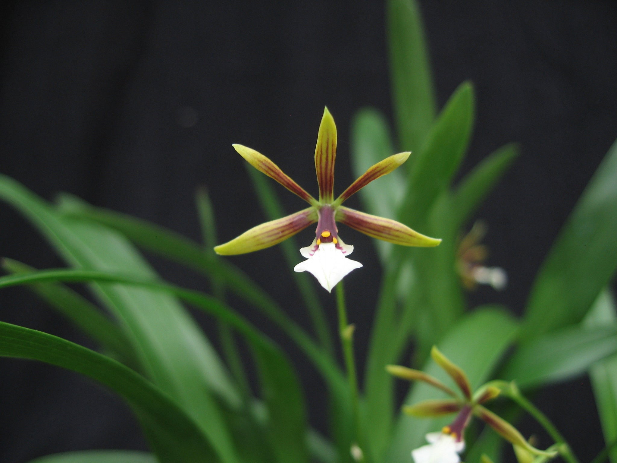 prosthecheaholmsgreenemerald petrens prosthechea green shop holms holm products s orchid emerald