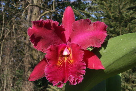 Rhyncholaeliocattleya Hey Song